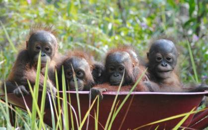 Babies rescued by our Borneo rescue centre 2014  - Copy